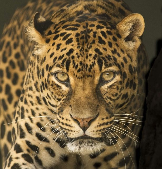 Leopardo Mozambique